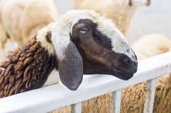 Close up sheep Royalty Free Stock Photography