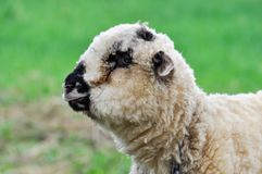 Close-up of sheep, looking left while grazing on pasture royalty free stock images
