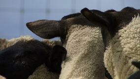 Close up of sheep in New Zealand eating. Close up of New Zealand sheep chewing on grass stock video