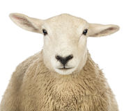 Close-up of a Sheep's head Stock Photo