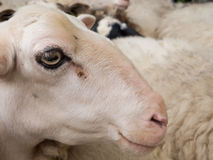 Close-up of a sheep's head Royalty Free Stock Photos