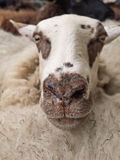 Close-up of a sheep's head Stock Photography