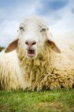 Close up of a sheep Royalty Free Stock Photography