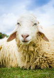 Close up of a sheep. Close up shot of a smile sheep in thailand Royalty Free Stock Images