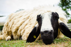 Close up of a sheep Royalty Free Stock Photo