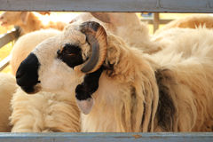 Close up sheep in a stable. Detail of Close up sheep in a stable Royalty Free Stock Photography
