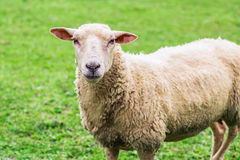 Close up of a sheep standing on a lawn Stock Photo