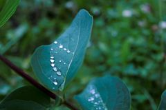 Close-up of sheet with silvery water drops after rain. Evening cold light in the forest. Rain forest. royalty free stock images