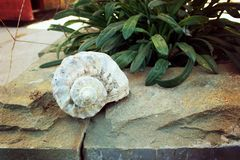 Shell on stone ledge. A close up of a shell on a stone ledge next to a decorative plant stock photos