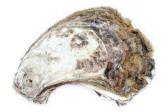 Close-up shell texture of whole fresh oyster on white background. Royalty Free Stock Photography