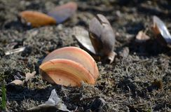 Shellfish over the dry shore stock photo