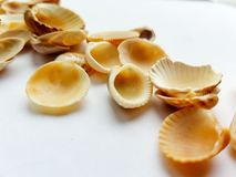 Close up of shells. Shells close up on a white background Stock Image