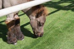 Close up Shetland pony horse Stock Image