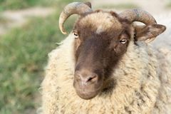 Close Up of Shetland Ram stock images