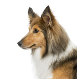 Close-up of a Shetland Sheepdog Royalty Free Stock Images