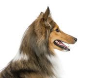 Close-up of a Shetland Sheepdog Royalty Free Stock Photography