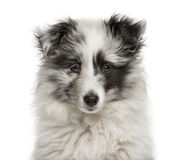 Close-up of a Shetland Sheepdog puppy Royalty Free Stock Photo