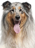 Close-up of Shetland Sheepdog with tongue out Royalty Free Stock Photo