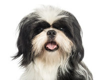 Close-up of a Shih tzu panting, looking at the cam Stock Images