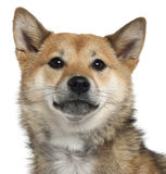 Close-up of Shiba Inu, 1 year old Royalty Free Stock Photography