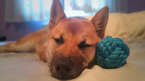 A young dog shiba inu sleeping on his pillow. Close-up shiba inu breed dog in red color, sleeping placidly with his toy, blue ball next to. The photo conveys a Royalty Free Stock Photo