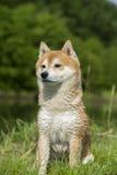 Close up on shiba inu dog Royalty Free Stock Photos