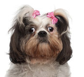 Close-up of Shih Tzu, 18 months old Royalty Free Stock Photography