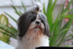 Close up Shih tzu. Stock Images