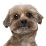 Close-up of Shih tzu, 5 years old Stock Photography
