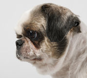 Close-up of Shih Tzu, 8 years old stock images