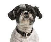 Close-up of a Shih Tzu Royalty Free Stock Photography