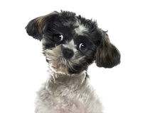 Close-up of a Shih tzu Stock Images