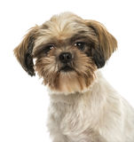 Close-up of a Shih tzu, looking at the camera, isolated Stock Photography