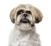 Close-up of a Shih Tzu (6 years old) Royalty Free Stock Photos