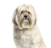 Close-up of a Shih-tzu, 10 years old, isolated royalty free stock photos