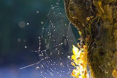 Close up of shining spider web at tree trunk bark with bright glowing leaves in autumn sun blurred blue background near Roermond,. Close up of shining spider web royalty free stock images