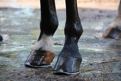 Close up of shiny horse hoofs after shower. Close up of shiny brown and white horse hoofs after shower Stock Photos