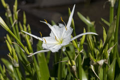 Close up of Shoal lily Stock Image