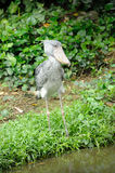 Shoebill (Balaeniceps rex) bird. Close up of Shoebill (Balaeniceps rex) bird in zoo. The bill of this bird resembles a Dutch wooden clog, hence is common name Stock Image