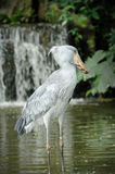 Shoebill (Balaeniceps rex). Close up of Shoebill (Balaeniceps rex) bird in zoo. The bill of this bird resembles a Dutch wooden clog, hence is common name. It is Royalty Free Stock Photos