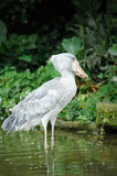 Shoebill (Balaeniceps rex). Close up of Shoebill (Balaeniceps rex) bird in zoo. The bill of this bird resembles a Dutch wooden clog, hence is common name. It is Royalty Free Stock Photography