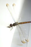 Close up shoot of a anisoptera dragonfly. Green beige in color stock images