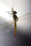 Close up shoot of a anisoptera dragonfly. Green beige in color royalty free stock images