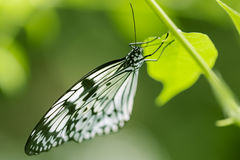 Close up shoot of butterfly with soft green background. Butterfly with soft green background Stock Images