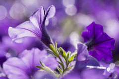 Close up shoot of colorful petunia flower. Close up shoot of petunia flower Royalty Free Stock Photo