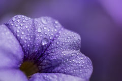Close up shoot of colorful petunia flower. Close up shoot of purple petunia flower with water drops Stock Photos