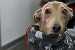Close-up shoot from a italian greyhound dog Stock Photos