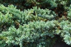 Close view of shoot of Juniperus squamata. Close up of shoot of Juniperus squamata Stock Images