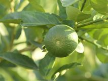 Green limes on a tree. Close up shoot of lime on a lime tree, Green limes on a tree royalty free stock photography