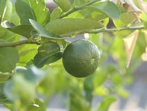 Green limes on a tree. Close up shoot of lime on a lime tree, Green limes on a tree royalty free stock images